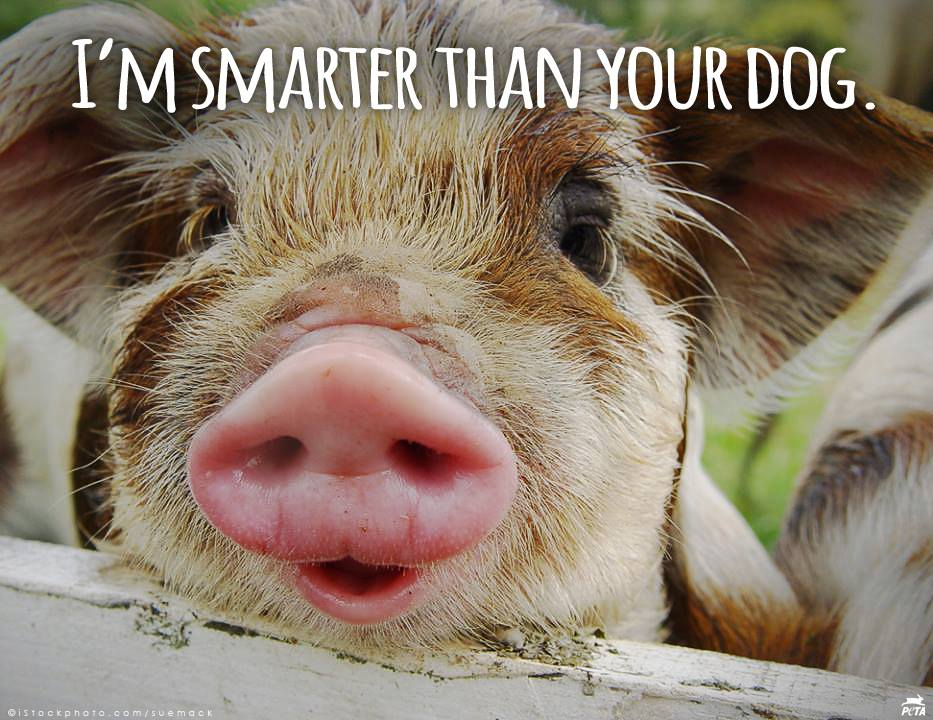 pig smarter than dog