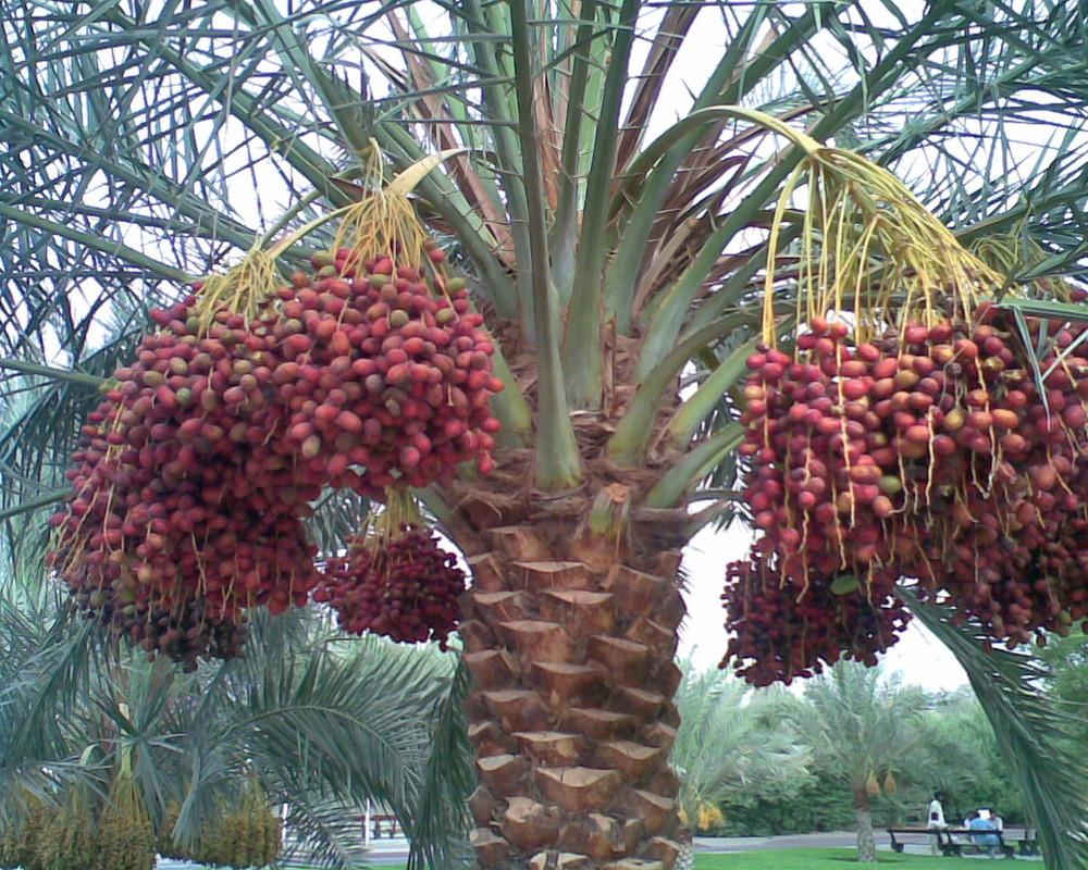 Финиковая пальма - greendom.net
